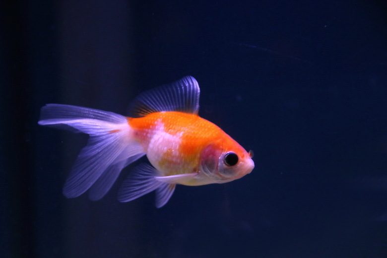 aquarium -2- - De konijntjes, cavia's en andere knaagdieren zijn de deur uit gegaan, maar het tuincentrum heeft nog wel volop aquariumvisen in de