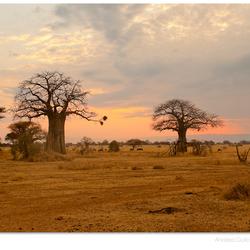 Baobabs in Tarangire Park