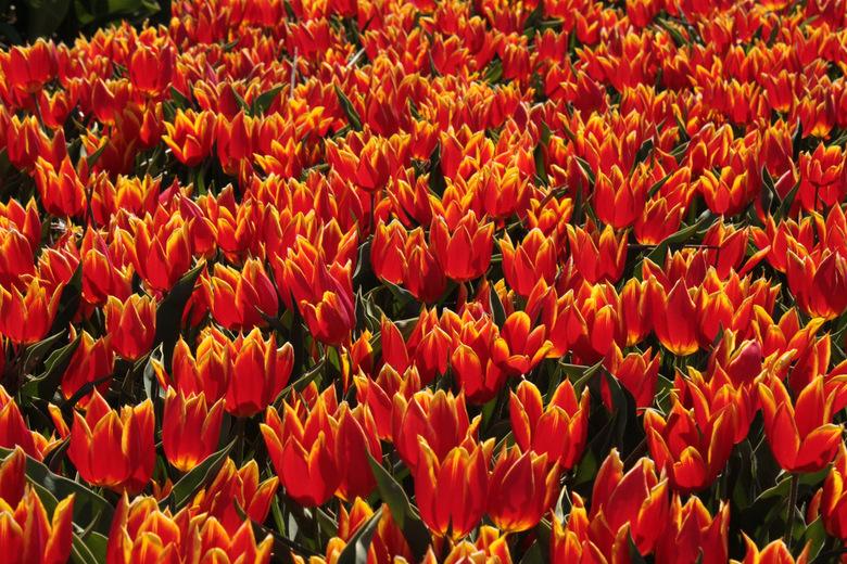 kleur? waar kleur? - In de Hortus te Limmen staan heel oude soorten tulpen te gloriëren. Dit is een heel oude tulpensoort uit 1595 (volgens het bordje