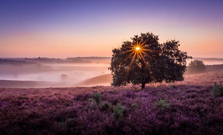 Purple haze - Mooie zonsopkomst bij deze bekende boom op de posbank.<br /> <br /> www.mariovisser.com