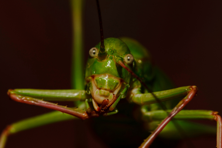 Grasshopper - Deze sprinkhaan wilde wel even voor mij poseren. Vind zelf dat ie nog wat scherper op de ogen had gemogen.