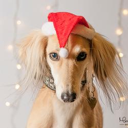 Kerst Saluki | Hondenfotografie
