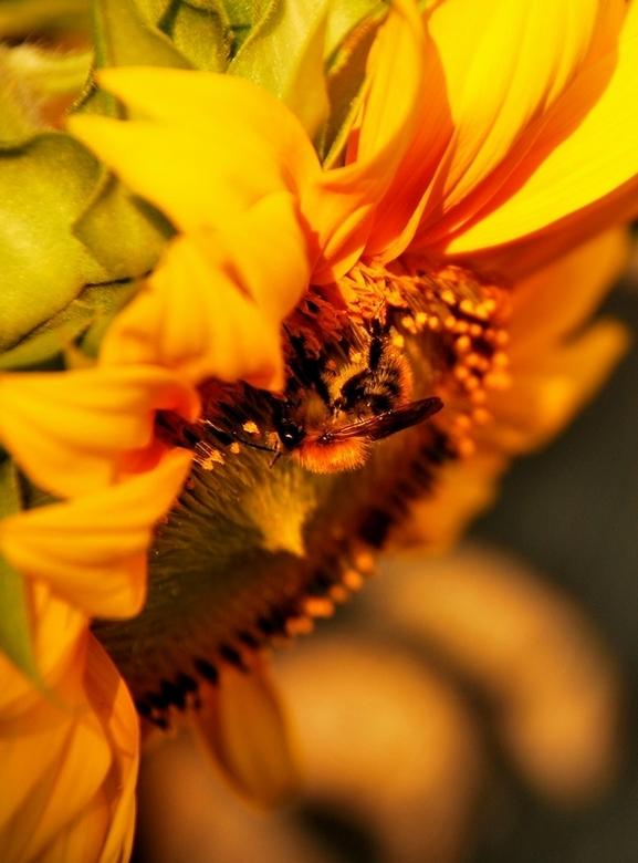 zonnebloem - deze zonnebloem stond gewoon in de achtertuin