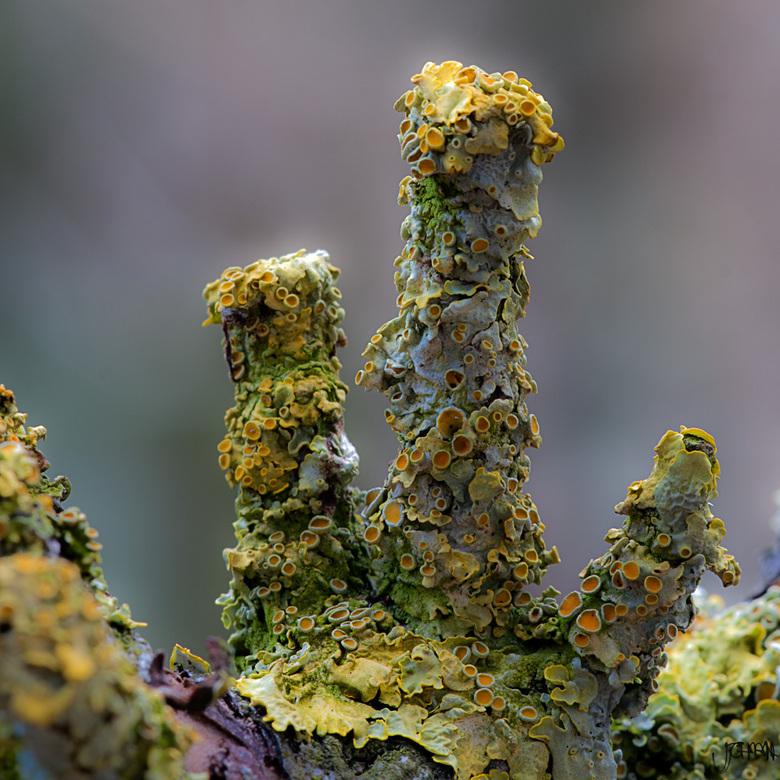 Korstmos - Een wereld apart, de structuur van korstmos. Hier op een oude tak van een fruitboom.