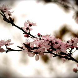 Eerste lentebloesem