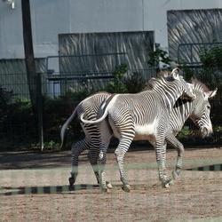 Suarez-zebra