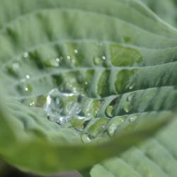 druppel in een kuiltje van het blad