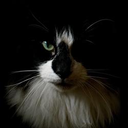 Ollie de noorse boskat