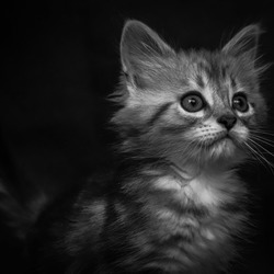 Maine coon kitten 2