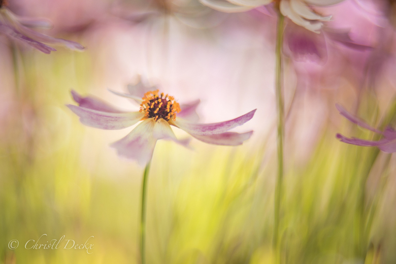 Centre of attention  - Een klein Coreopsis bloempje uit de tuin...