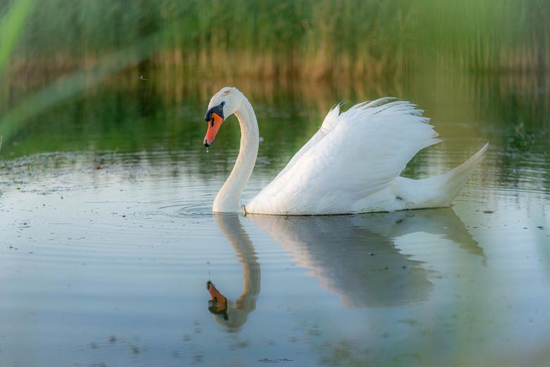 """Swan - Zwaan met een druppel aan de snavel omdat het net gedronken heeft. Mooi in spiegeling! <img  src=""""/images/smileys/smile.png""""/>"""