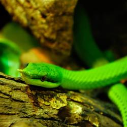 Little green snake