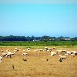 Texels wol.