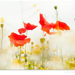 Poppy Pleasure