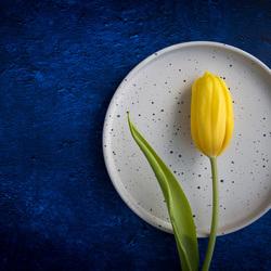 Gele tulp op blauwe achtergrond