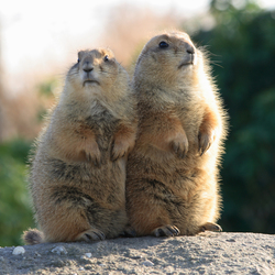 Blijdorp - Prairiehondjes