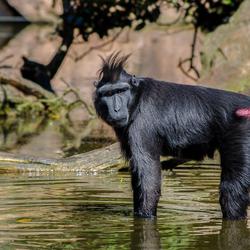 Zwarte Makaak aap
