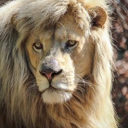Leeuw in Olmense Zoo