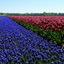 blauwe druifjes en tulpen