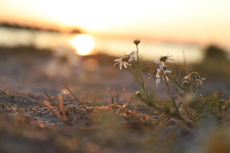 Bloemetje in de zonsondergang - Ik vond dit wel een mooie overkoepelende foto voor de zomer in Nederland van dit jaar.