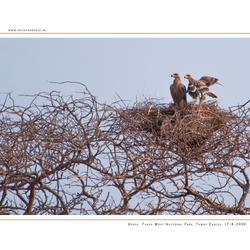 Tawny Eagles, Kenia