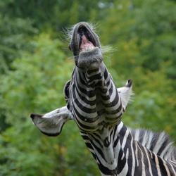 Lachende zebra