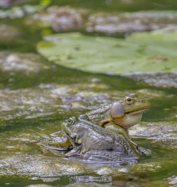 kikkerpaar