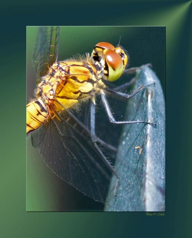 """Scherpe positie - Libel op de gevaarlijke toer<br /> <br /> Bedankt voor jullie reacties op <a href=""""http://zoom.nl/foto/2112348/dieren/zo-lief.html"""