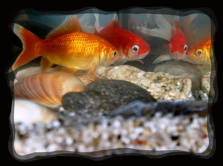 Spiegeltje, spiegeltje....... - De twee goudvissen van mijn zoon spiegelen zich in het glas van het aquarium