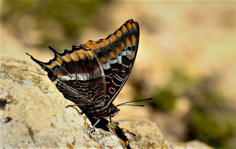 jasiusvlinder - De Jasius vlinder zat op het pad waar we een wandeling deden. Mooi stil bleef hij zitten.  <br /> <br /> Heel veel dank voor alle re
