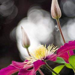 de roze-rode clematis bloeit weer volop in mijn tuin
