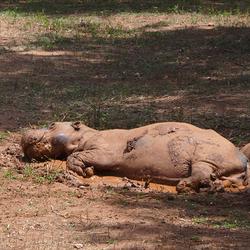 nijlpaard 1903028193mw