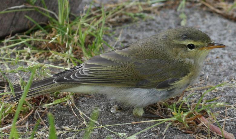 bijkomen - dit jonge vogeltje vloog vanmiddag tegen het raam en zat onder de tuintafel bij te komen. eerst met oogjes dicht, later kwam het echt bij.