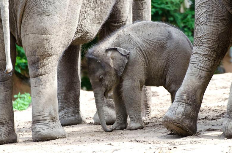 Jonge Olifant  in het Potenbos_DSC8666 - Zo&#039;n jonge Olifant heeft in het begin een druk bestaan.<br /> Als de moeder zich gaat verplaatsen dan w