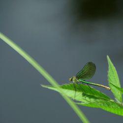 Groene Weidebeekjuffer