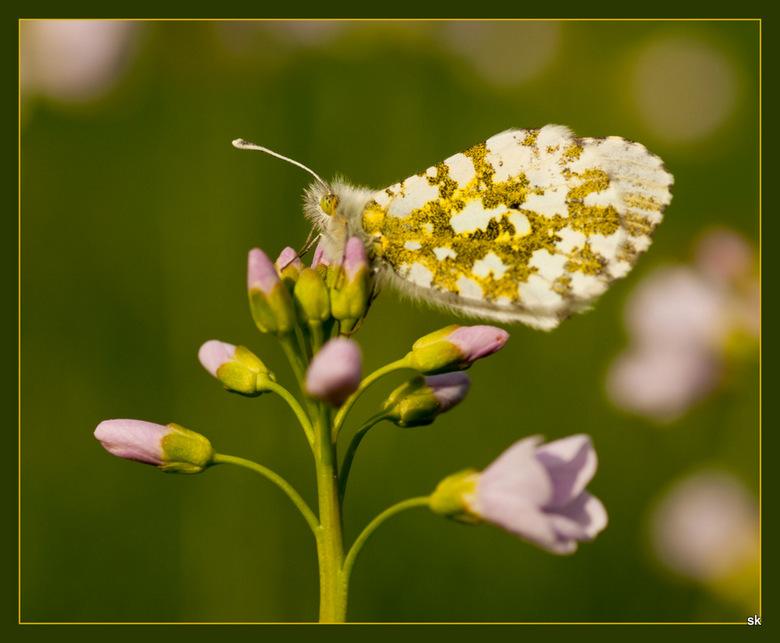 Oranjetipje vrouwtje - Vrouwtje oranjetipje. Ook weer in de voortuin.<br /> Nog erg koud voor vlinders volgens mij.<br /> Ze is op de bloem gewaaid