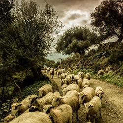 I Πρόβατα