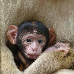 Jong Berber aapje
