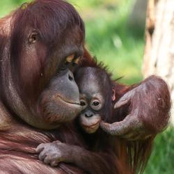 Mama en baby orang-oetan