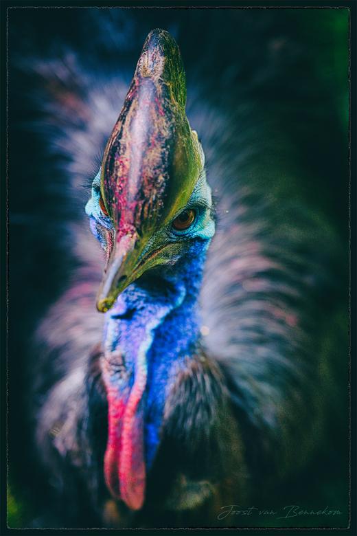 Portret van een helmkasuaris - Deze helmkasuaris leeft in dierenpark Amersfoort.<br /> In sommige situaties kan deze grote loopvogel levensgevaarlijk