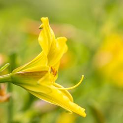 Gele daglelie (Hemerocallis lilioasphodelus)_