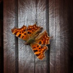 De eerste vlinder van dit jaar
