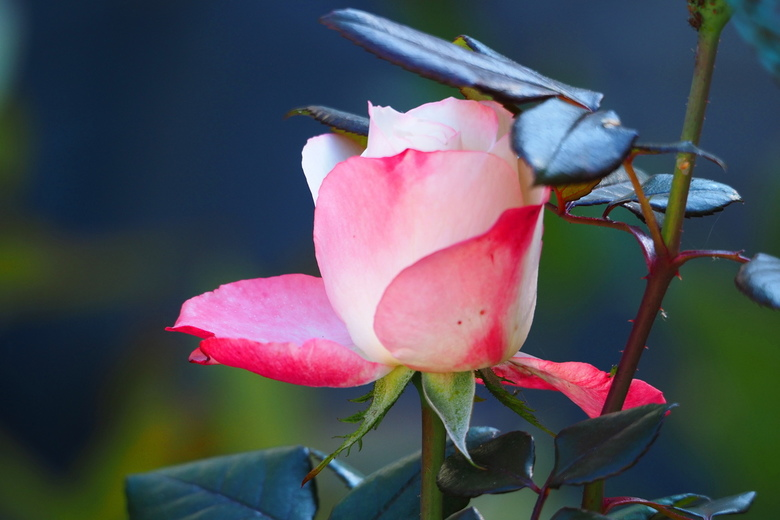 Roos nog in knop - Roos in mijn tuin in oktober