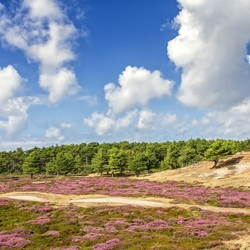Heide en blauwe lucht op Texel.