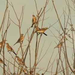kramsvogels