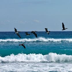 Vlucht Pelikanen