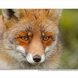 Foxy portrait