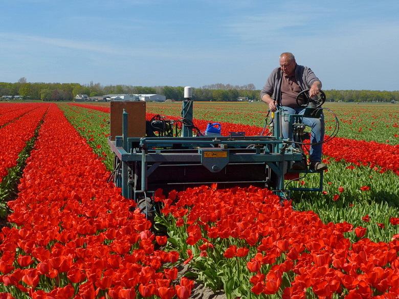 Tulpen gekopt - Waarom worden tulpen gekopt?<br /> Tulpen worden gekopt om de bol te laten groeien.<br /> In de tulpen gebieden worden de tulp in he