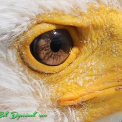 Eagle Close-up