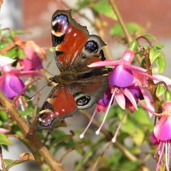 late vlinder